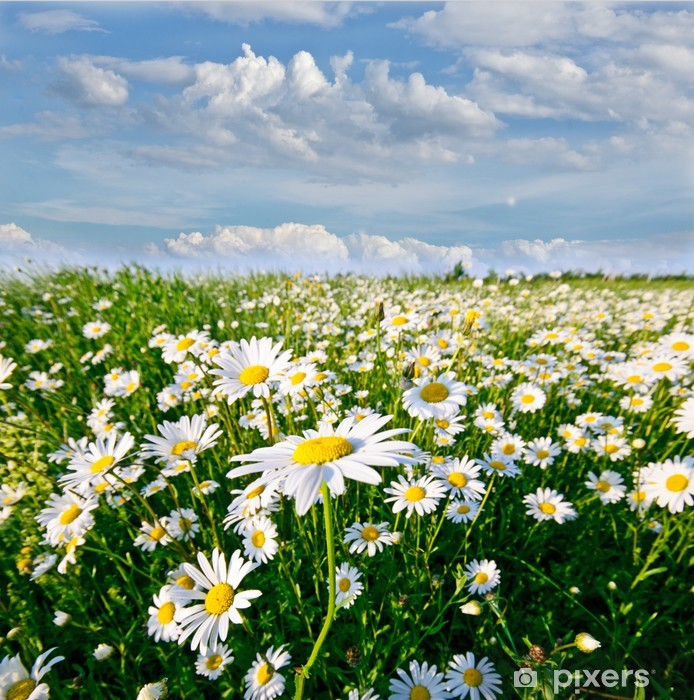 Springtime: field of daisy flowers with blue sky and clouds Pixerstick Sticker - Themes