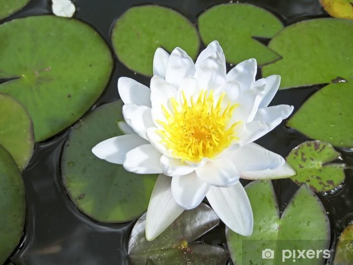 Beautiful White Lotus Flower Floating In Water Sticker Pixers