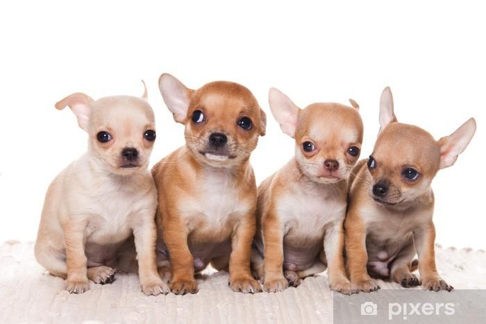 Aufkleber Chihuahua Welpen Auf Weissem Hintergrund Pixers Wir