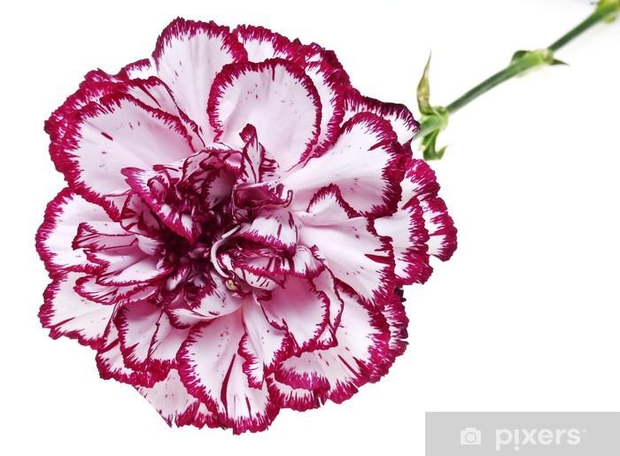 Papier peint vinyle Fleur d'oeillet rose sur fond blanc - Fleurs
