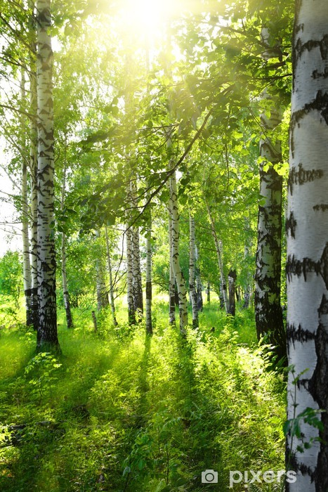 Fototapet av Vinyl Sommar björkskogen med sol - Destinationer
