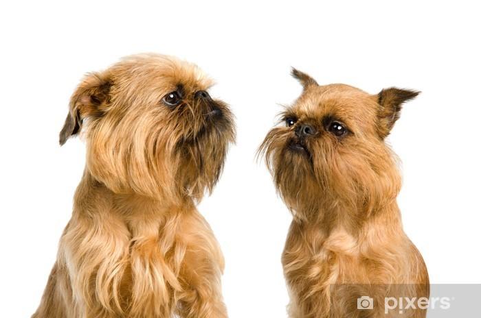 b04c07c330a Fototapeta Pár Bruselský grifonek psů • Pixers® • Žijeme pro změnu