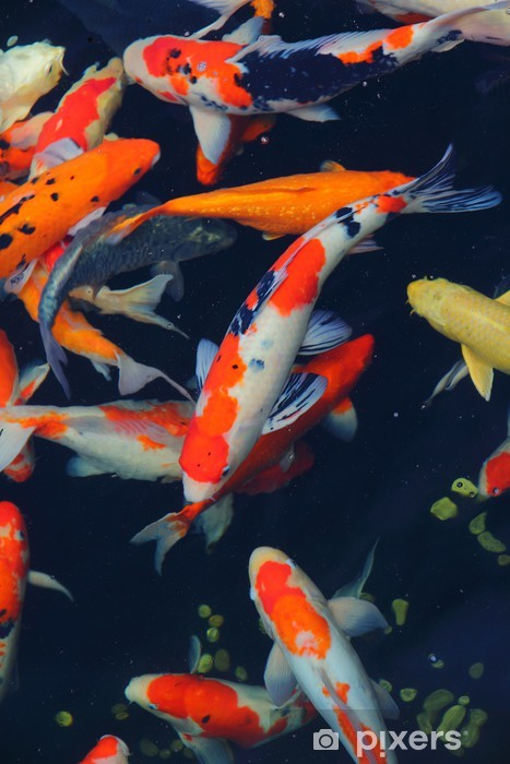 Koi Fish Pixerstick Sticker - Aquatic and Marine Life