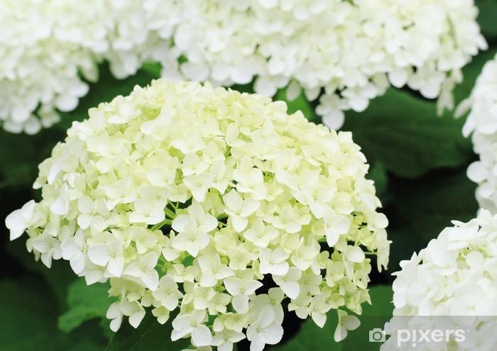 "Naklejka Pixerstick ""Hortensja Hydrangea arborescens 'Annabelle Annabelle """""" - Kwiaty"
