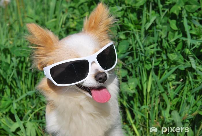 Adesivo Chihuahua dai capelli lunghi in occhiali da sole • Pixers ... ba9ef1e504b4