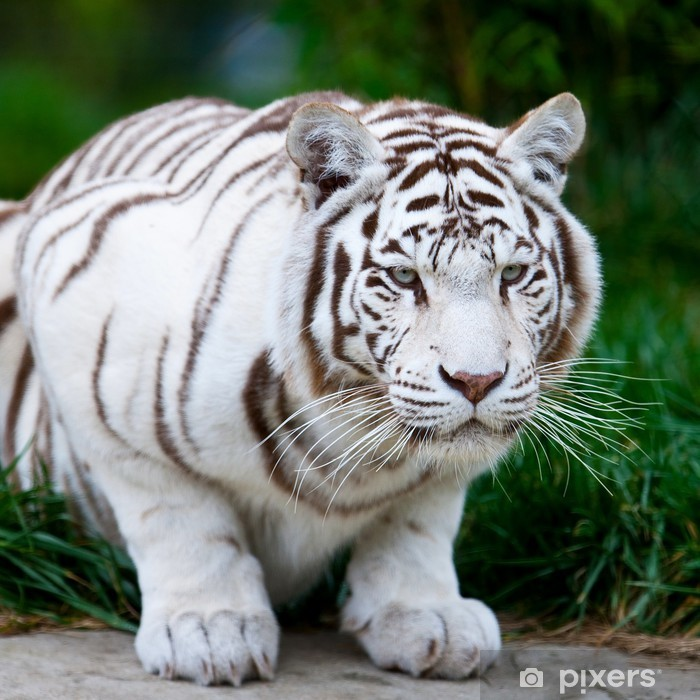White Bengal Tiger Poster - Themes