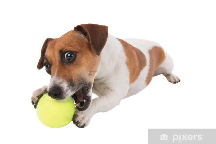 jack russel puppy with tennis ball isolated on white background