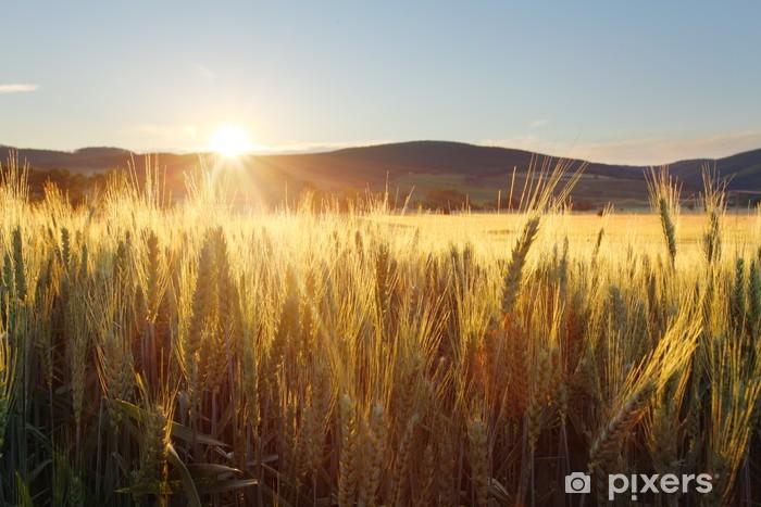 Fototapeta winylowa Zachód słońca nad pole pszenicy. - Tematy