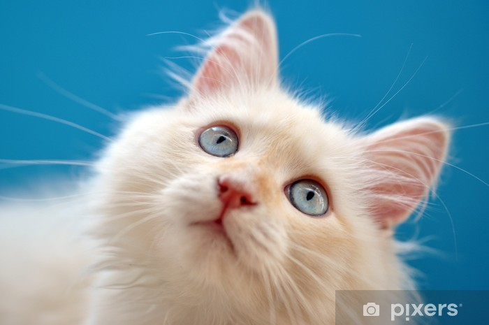 Vinyl Fotobehang Weißes Katzen Kitten mit türkisenen Augen - Zoogdieren