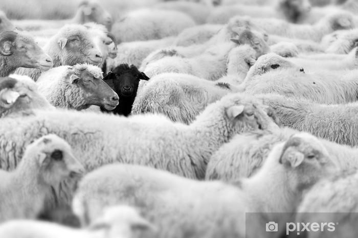 Fototapeta winylowa Czarna Owca - Zwierzęta