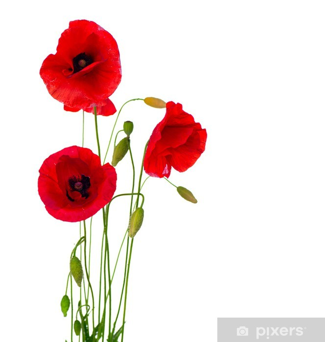 Red Poppy Flower Isolated on a White Background Vinyl Wall Mural - Destinations