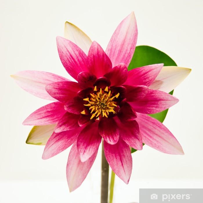 Naklejka Pixerstick Lilia wodna na białym piękny kwiat - Religie