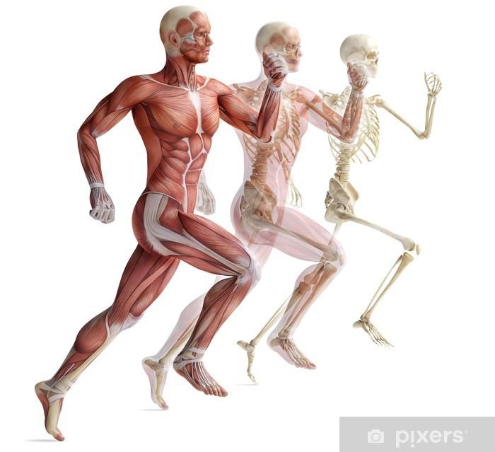 Vinyl Fotobehang Anatomie, spieren - Platteland
