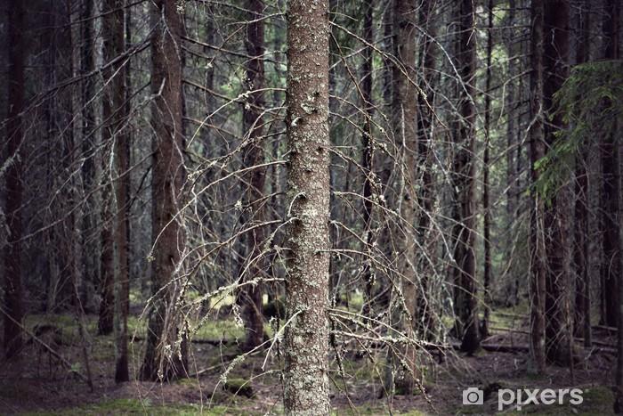 Fototapeta winylowa Gęsty las gołymi pni drzew świerkowych - Lasy