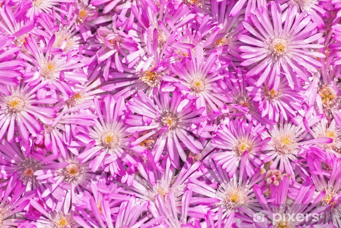 Fototapeta winylowa Straw kwiat (Helichrysum) - Kwiaty