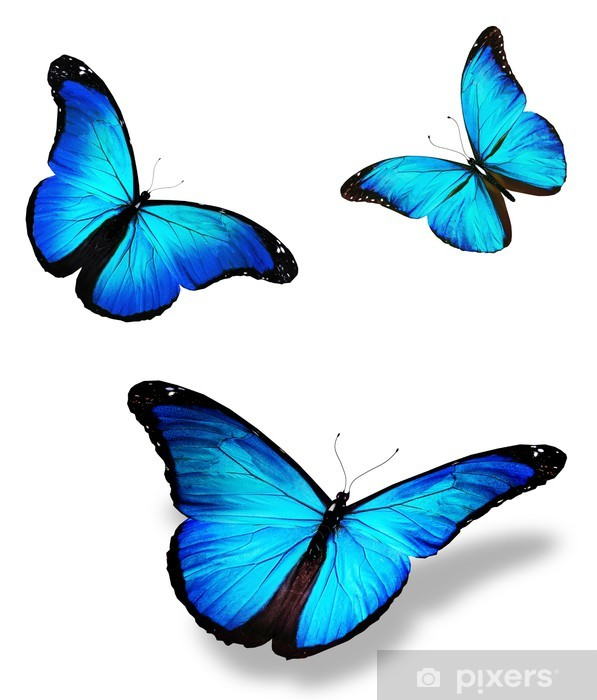 """Three blue butterfly """"morpho"""", isolated on white ..."""