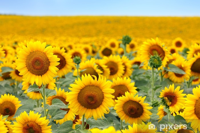 Beautiful sunflower field Pixerstick Sticker - Themes
