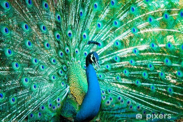 Fototapeta winylowa Portret pawia z piór out - Ptaki