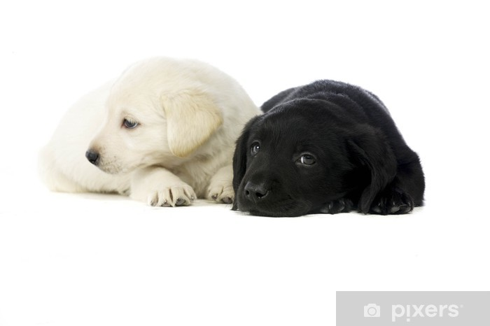 Sticker Pixerstick Les chiots Labrador noir et or - Mammifères