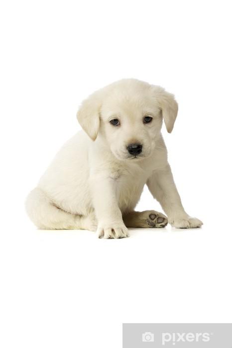 Vinyl Fotobehang Golden Labrador Puppy - Thema's