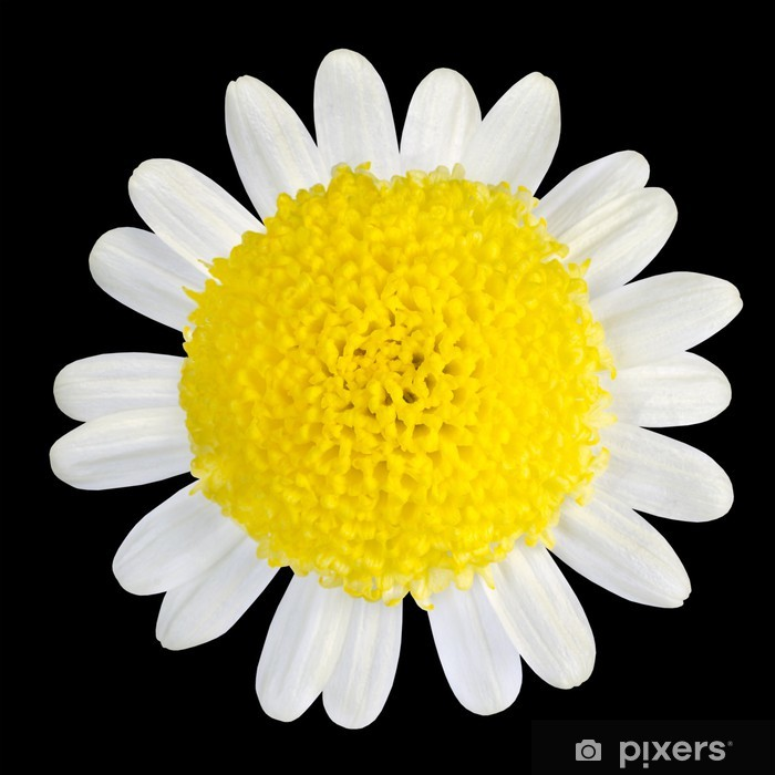 Yellow Flower With White Petals Isolated On Black Wall Mural