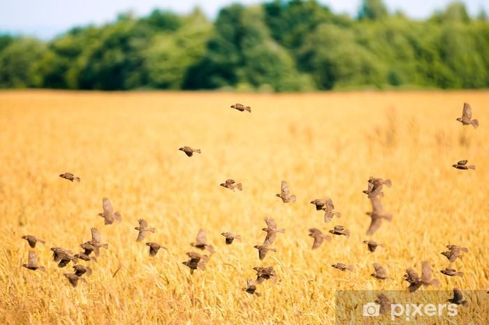 Naklejka Pixerstick Stado wróbli latające nad pole pszenicy - Ptaki
