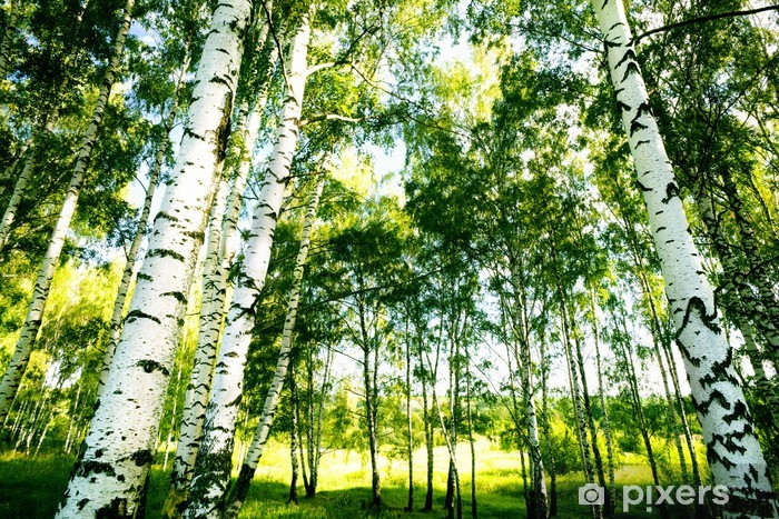 forest birch Self-Adhesive Wall Mural - Themes