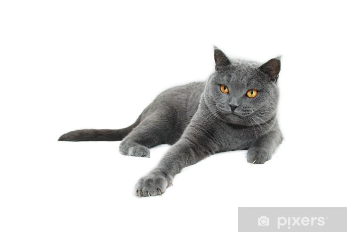 Fototapeta Niebieski Kot Brytyjski Krótkowłosy Pixers żyjemy By