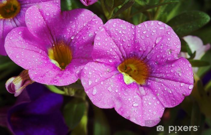 Fototapeta winylowa Kwiat calibrachoa carnaval z kropelkami wody - Kwiaty