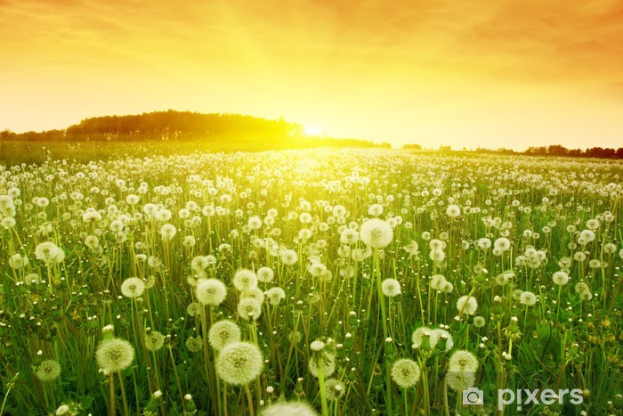 Dandelions in meadow during sunset. Washable Wall Mural - Themes