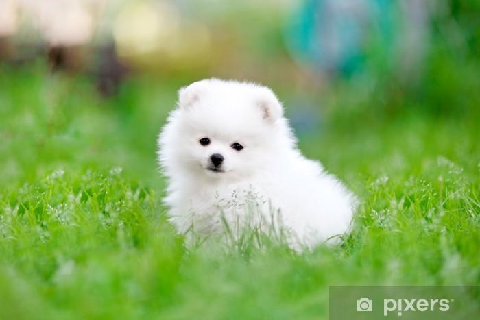 White Pomeranian Spitz Puppy Sitting In The Grass Wall