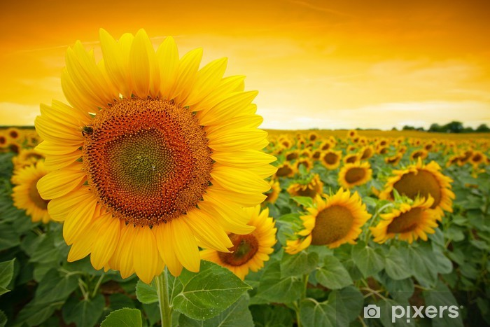 Sunflower field Pixerstick Sticker - Themes