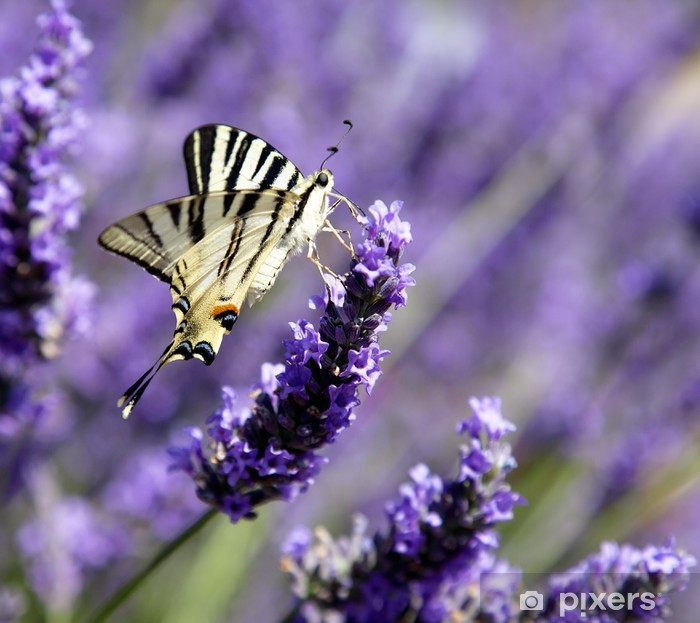Papier peint vinyle Papillon sur lavande (Iphyclides podalirius) - Thèmes