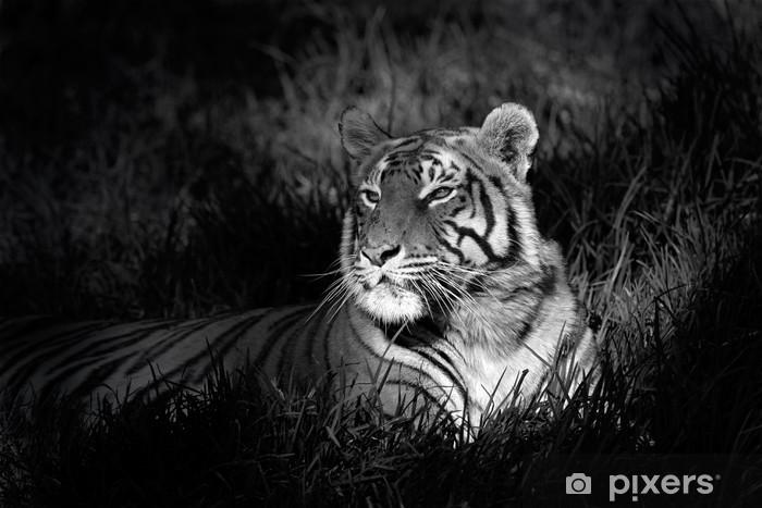 Carta da Parati in Vinile Immagine in bianco e nero di una tigre del Bengala -