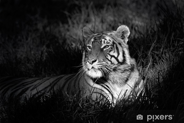 Monochrome image of a bengal tiger Pixerstick Sticker -