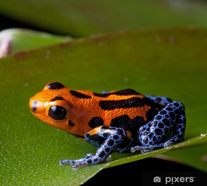 red striped poison dart frog blue legs Vinyl Wall Mural - Other Other