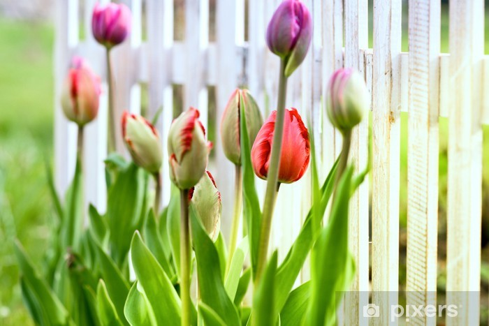 Vinyl Fotobehang Tulpen in de voortuin - Seizoenen