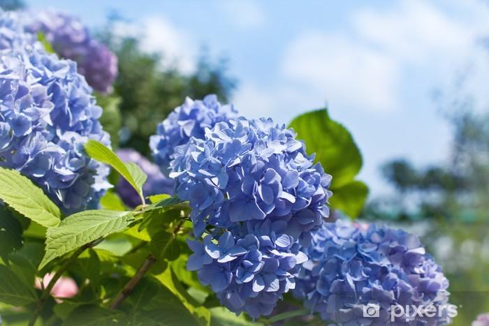 Fototapeta winylowa Hortensja kwiaty niebieski - Kwiaty