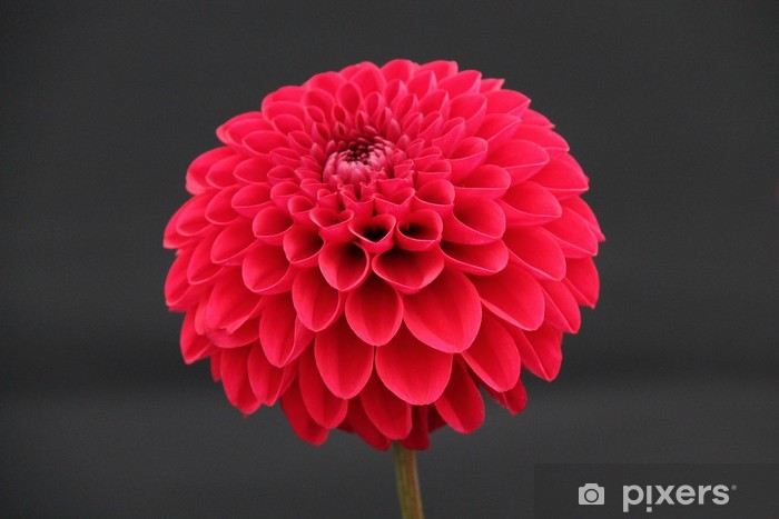 Fototapeta winylowa Piękne Rude Kwiat Zakładu Dahlia. - Kwiaty