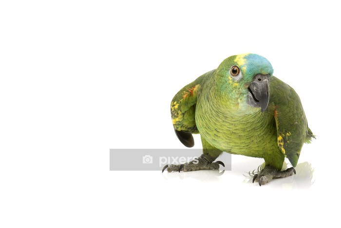 Blue Fronted Amazon Parrot On White Background Wall Decal Pixers