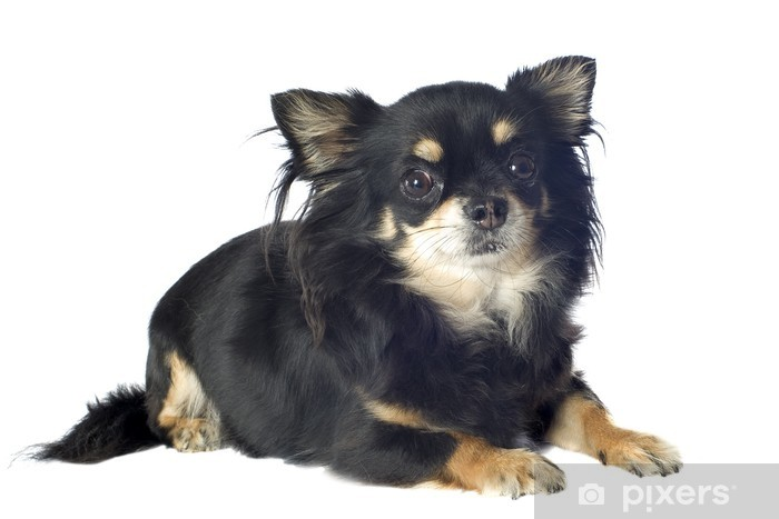 Svart Chihuahua