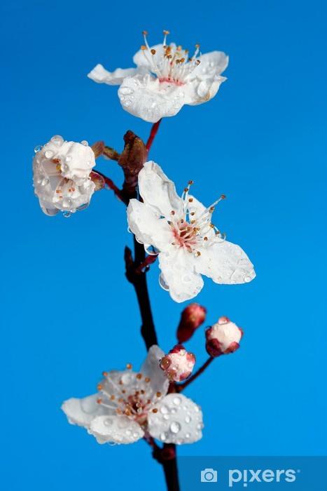 Naklejka Pixerstick Kwiat wiśni - bardzo szczegółowo Kropla wody - głębokie niebieskie tło - Kwiaty