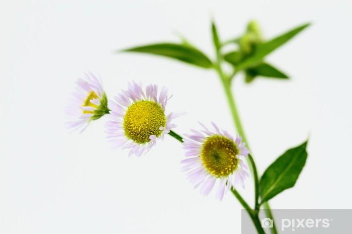 Sticker Pixerstick 姫 女 菀 の 花 Erigeron annuus - Fleurs