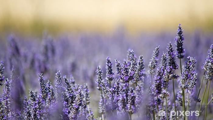 Adesivo Pixerstick Campo di fiori di lavanda. Close up. Francia. - Erbe