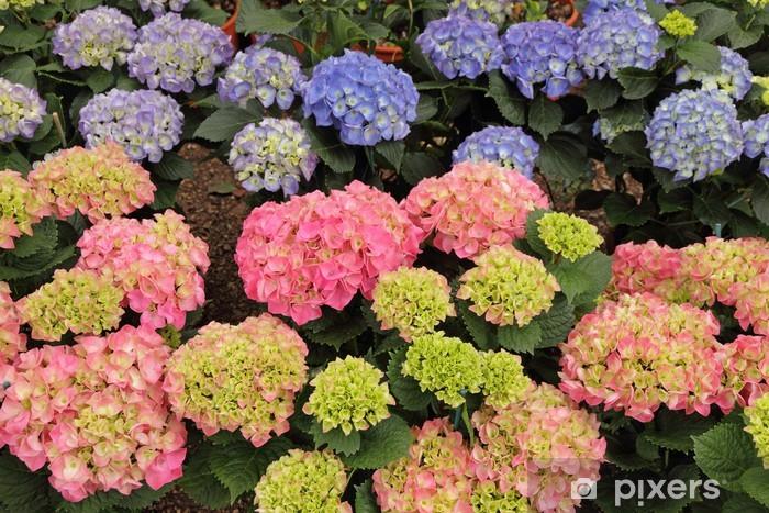 Vinyl-Fototapete Mehrfarben-Hortensien (Hydrangea) Blumen - Blumen