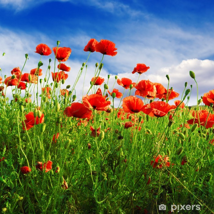 poppies on green field Pixerstick Sticker - Themes