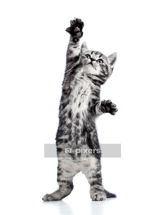 playful kitten cat isolated on white Wall Decal - Themes