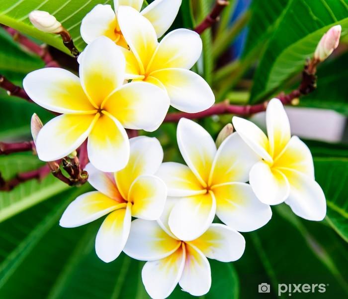 White frangipani Poster - Life