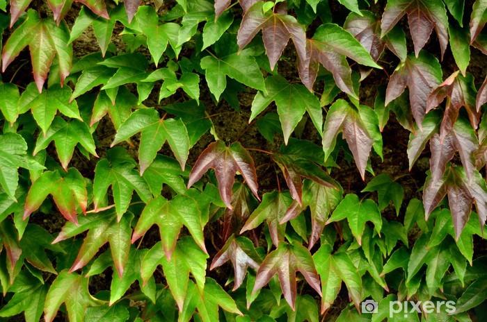 Fototapeta samoprzylepna Tekstury tła z liści bluszczu na ścianie w ogrodzie - Pory roku