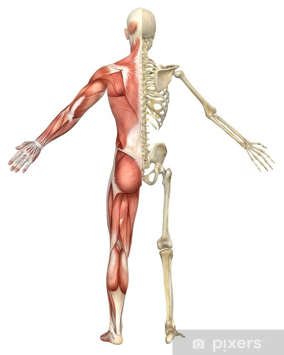 Vinyl Fotobehang Man Gespierde Skelet Split Rear View - Gezondheid en Geneeskunde